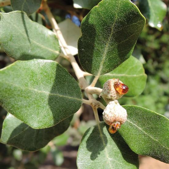 VerdeMiel Organic Oak honeydew
