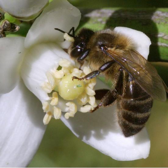 VerdeMiel 100% Miel de fleur d'oranger bio d'Andalousie