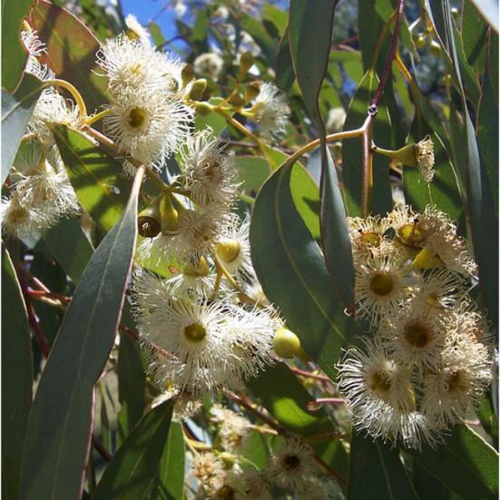 Miel Ecológica Flores y Eucalipto